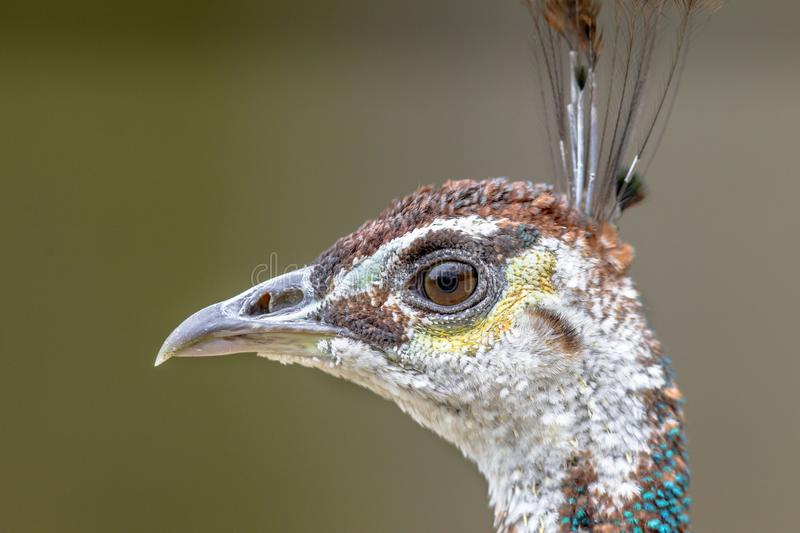 Head of female Peacock royalty free stock images