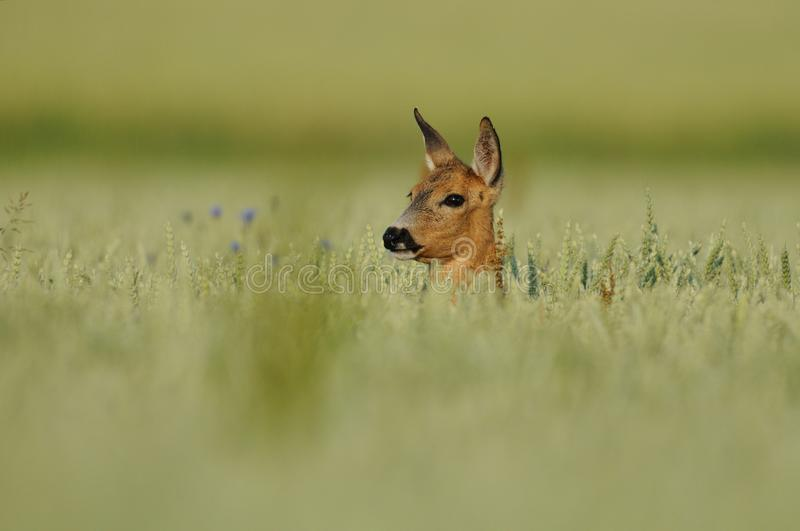 Head In The Field. The head of this deer i can photograph in a cornfield in the early morning of a sunny day stock photo