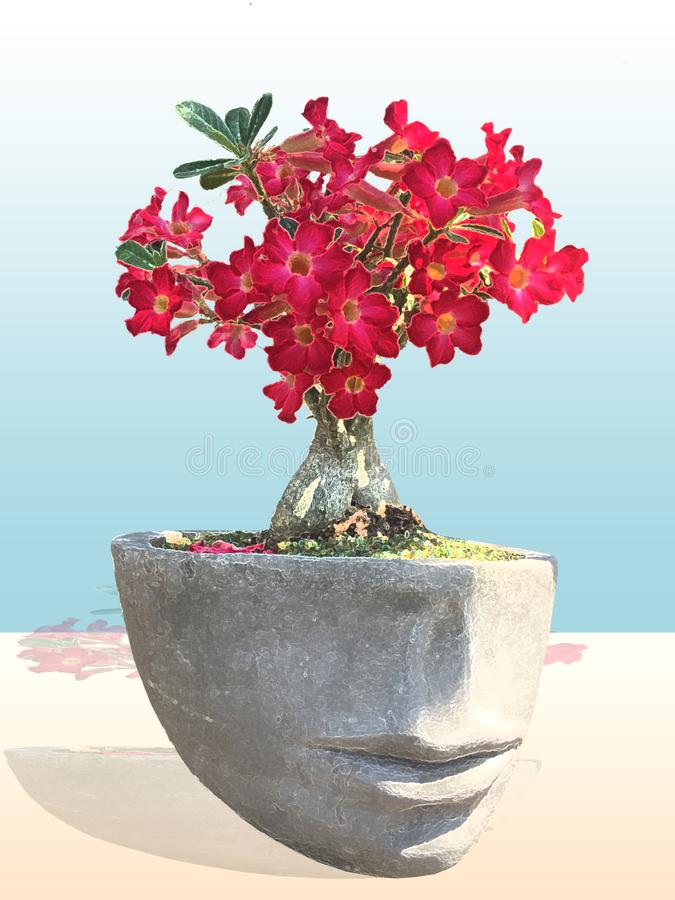 Head figurine planter with pink Adenium, Desert Flower. Great to use as a wall art royalty free stock photo