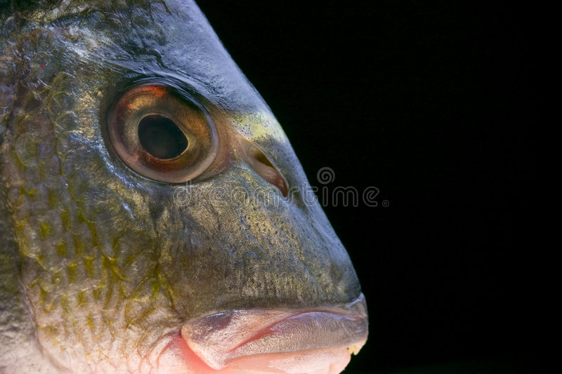Download Head of a fish stock photo. Image of natural, delicious - 1309106
