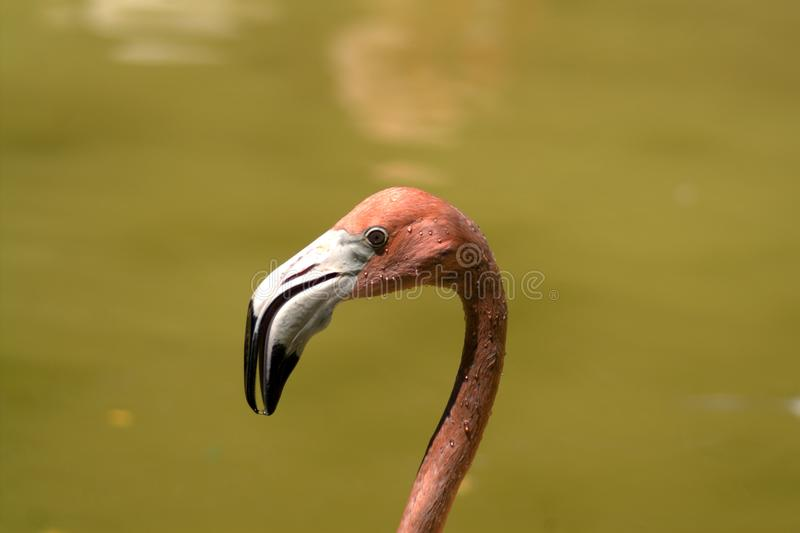 Head of the flamingo in profile. Head of a flamingo on an even green background of water. Drops of water on the head and neck of a bird. The bird`s eye and the royalty free stock photos