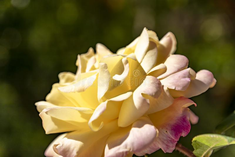 Head of a flower of yellow-pink rose on a blurred background royalty free stock image