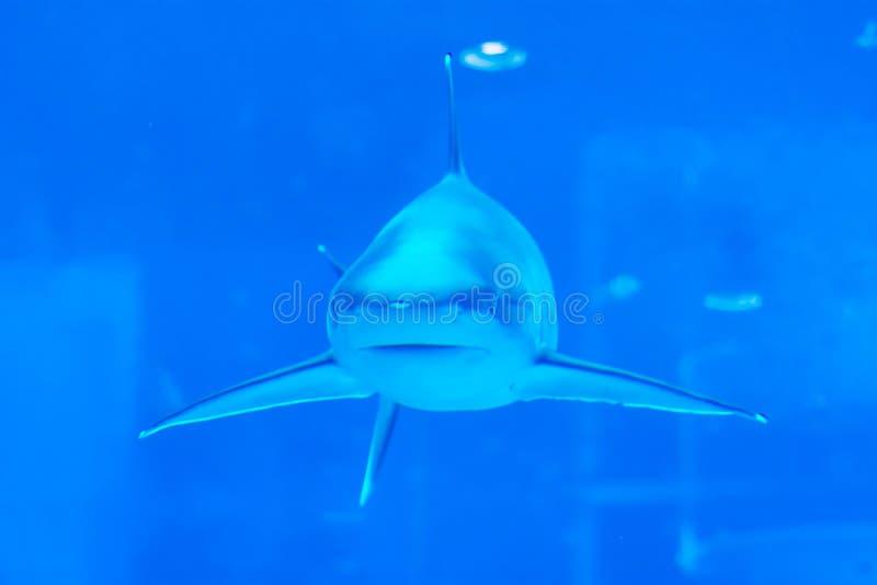 Head focus close up shot of Sandbar Silvertip Sharks from the aquarium of Singapore SEA aquarium sentosa royalty free stock image