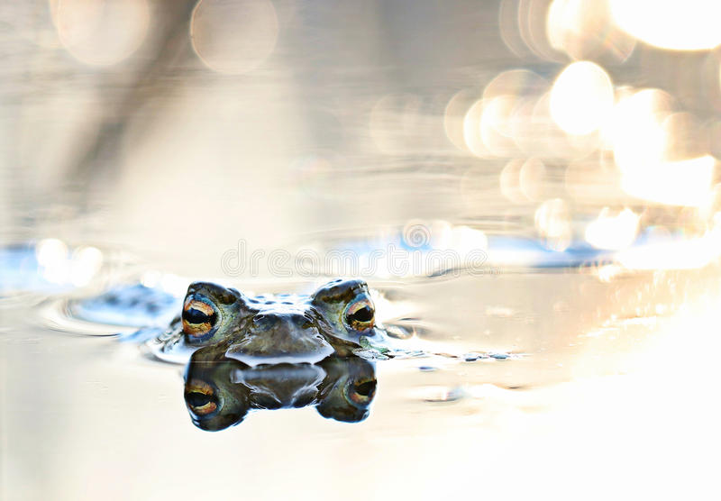 Head frog in swamp. Close stock photo