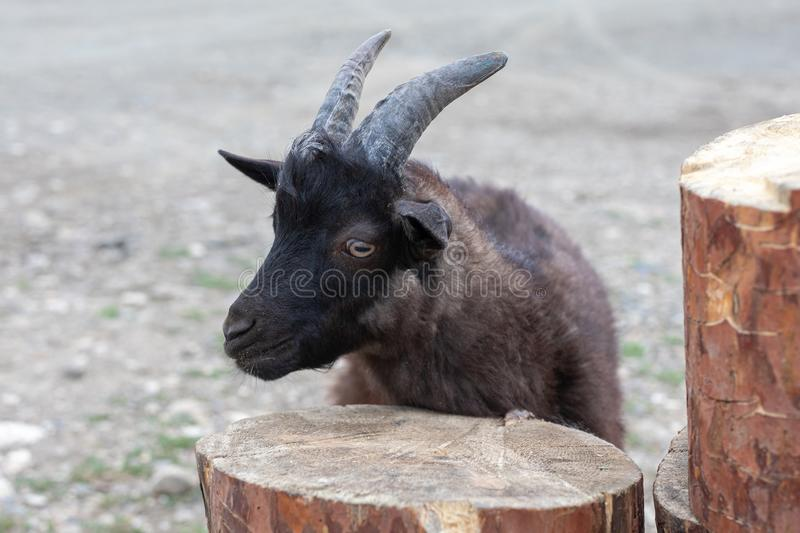 Head of funny silly black goat stands near logs. Head of funny silly black goat stands near a logs, stupid, animal, face, weird, white, farm, puzzled, cutout royalty free stock photos