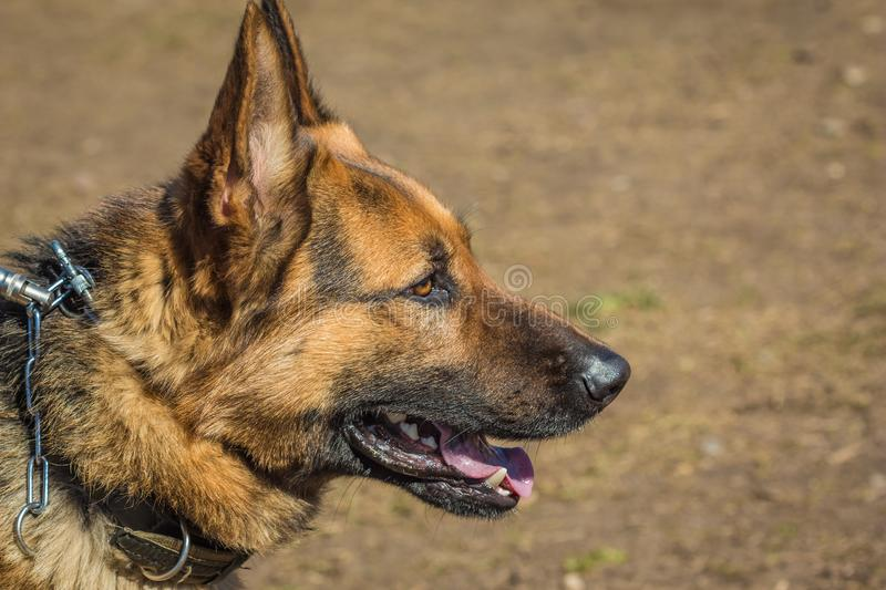 Muzzle German shepherd close up royalty free stock photography
