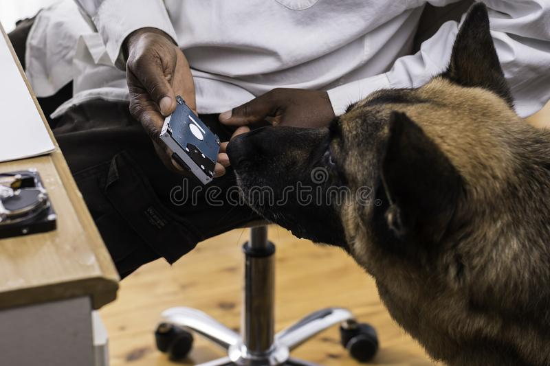 Head of a German Shepherd Dog is sniffing a computer hard drive. Held by a man royalty free stock photography