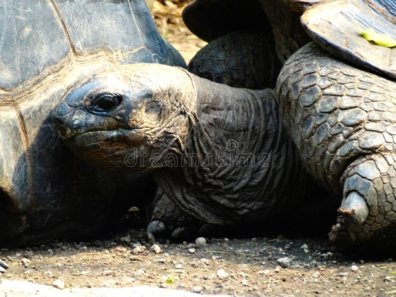 Head of a giant tortoise on galapagos islands royalty free stock images