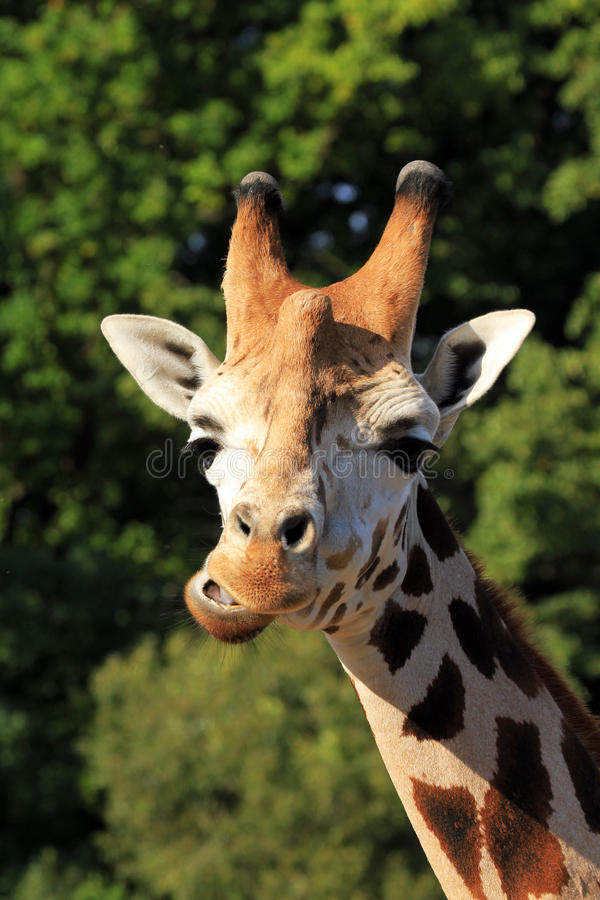 Download Head of giraffe stock photo. Image of blue, neck, mouth - 26639808