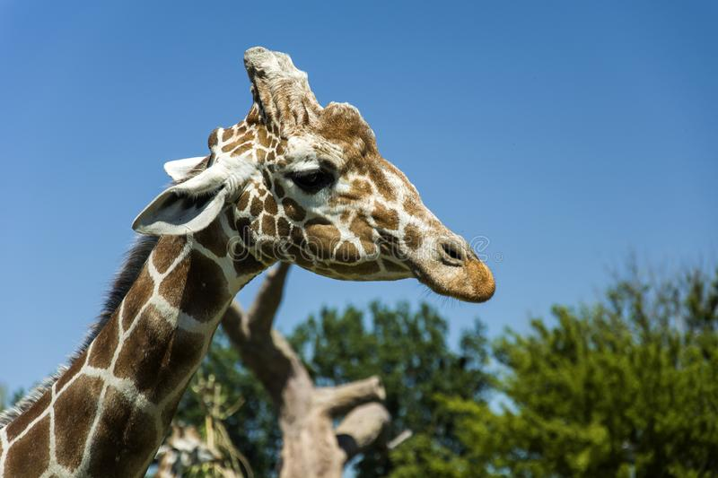 Head giraffe in the background of the sky stock image