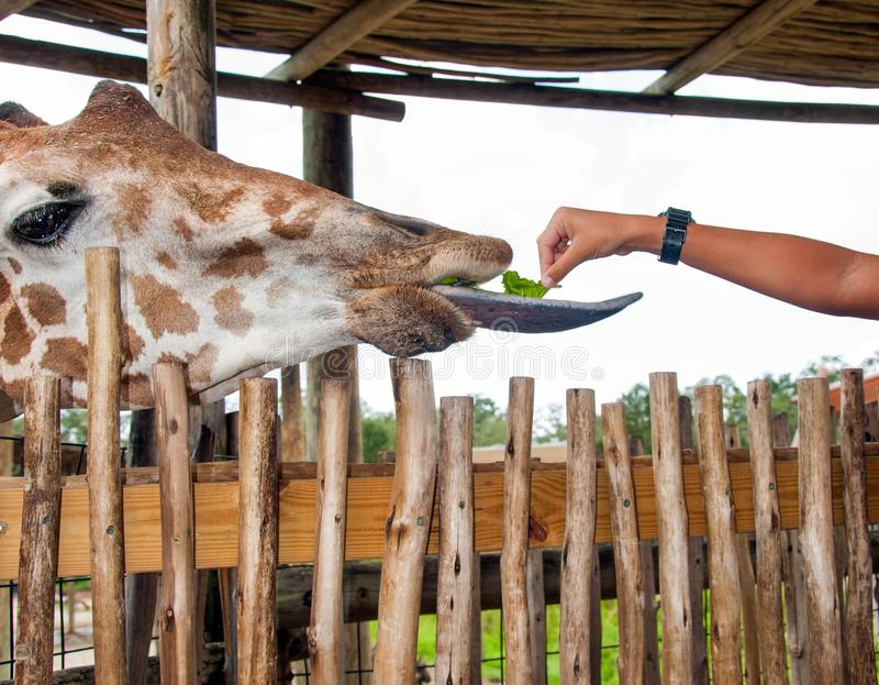 Head of giraffe. Close up of a giraffe with tongue out being fed a piece of lettuce royalty free stock photos