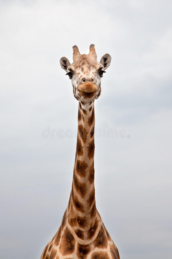 Download Head Of A Giraffe In The Wild Stock Photo - Image: 16437154