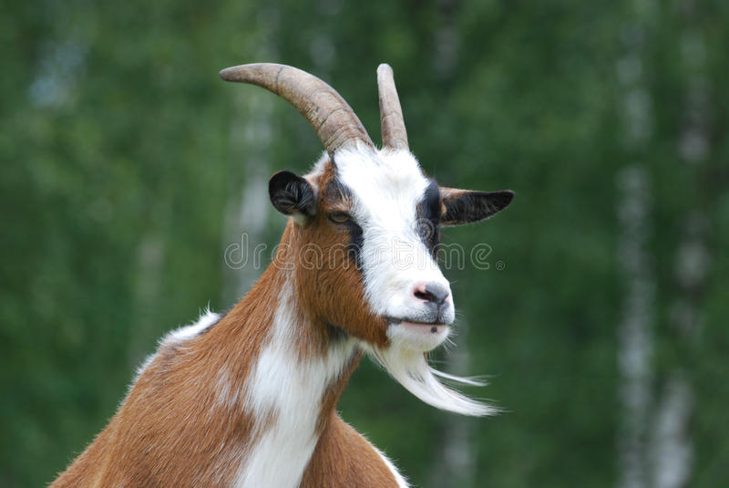 Head of the goat stock image