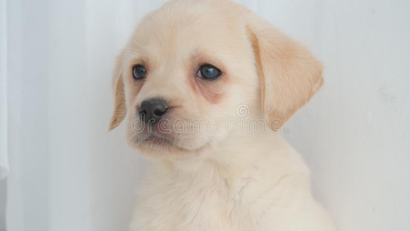 Head of golden labrador puppy royalty free stock image