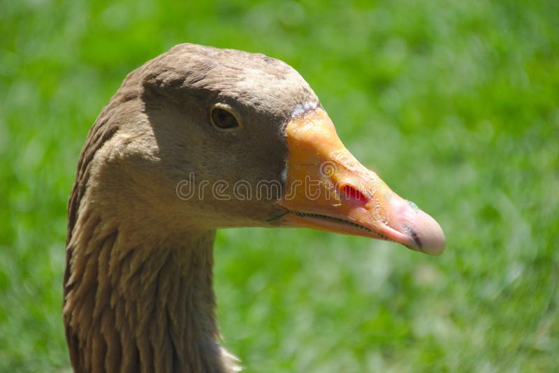 Profil of a gray goose stock image