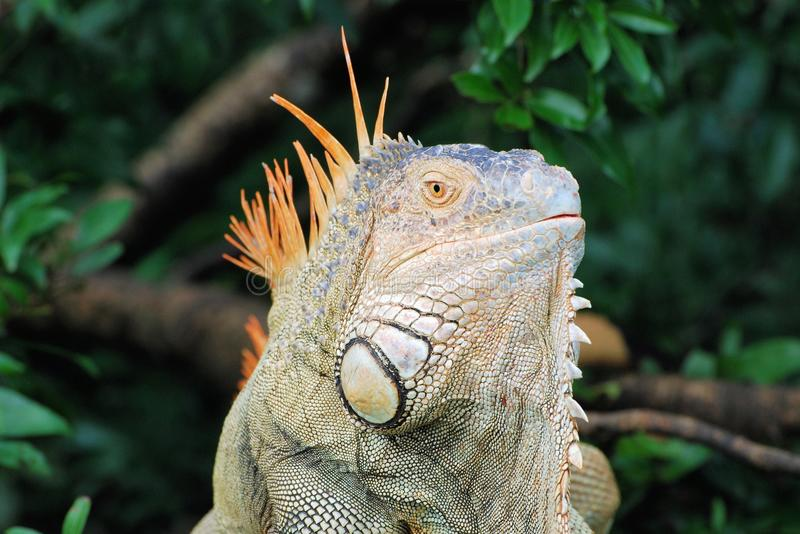 Head green iguana - large species of lizard with green and orange colors - central America – Costa Rica. Head green iguana - large, arboreal, mostly stock photo
