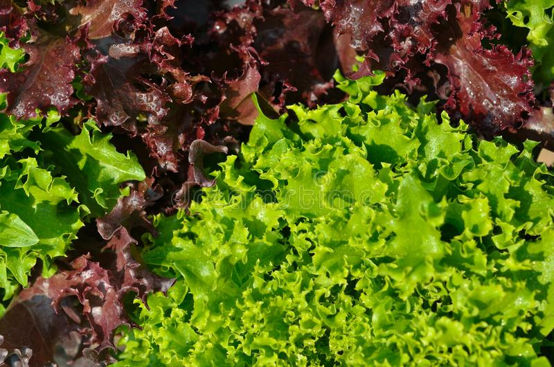 The head of green lettuce. In farm royalty free stock photo