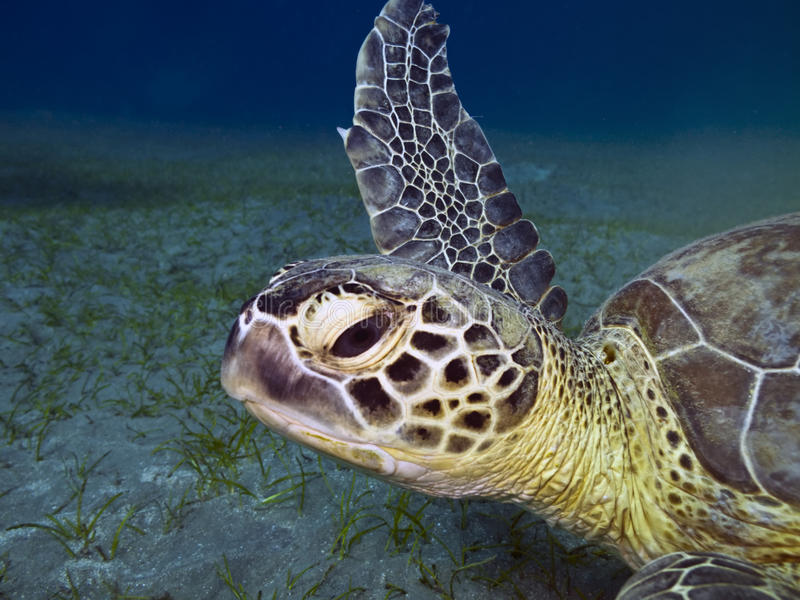 Head of green sea turtle. Green sea turtle Chelonia mydas swimming underwater , Abu Dabab, Egypt stock images