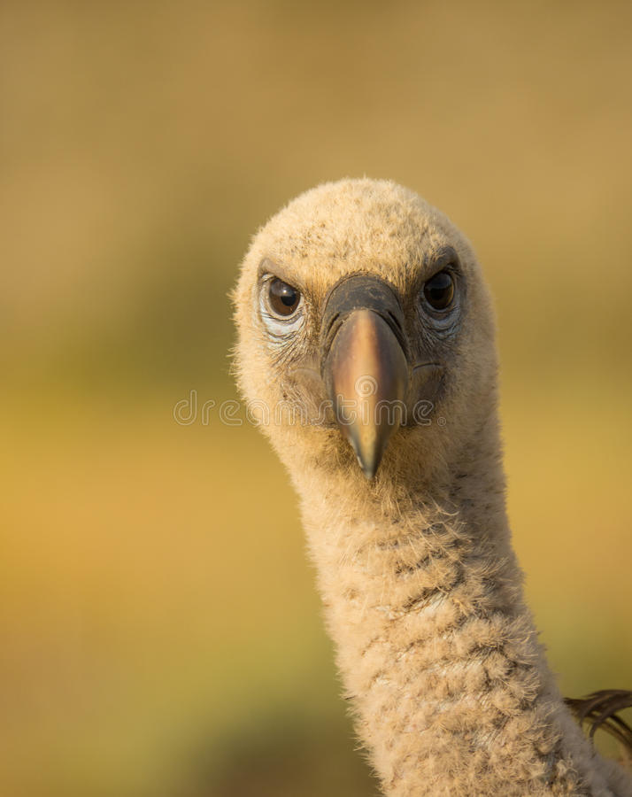 Head of a Griffon Vulture royalty free stock image