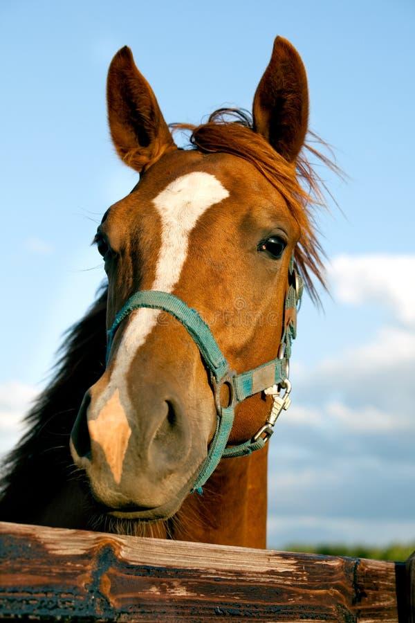 head häst för closeup arkivbilder