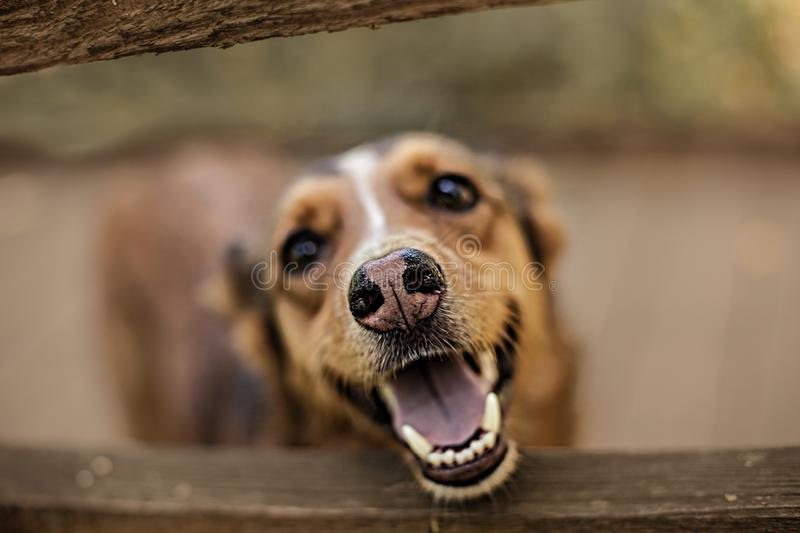 Artistic photo of a red dog .The dog is smiling, her nose is spotted coat stock photo