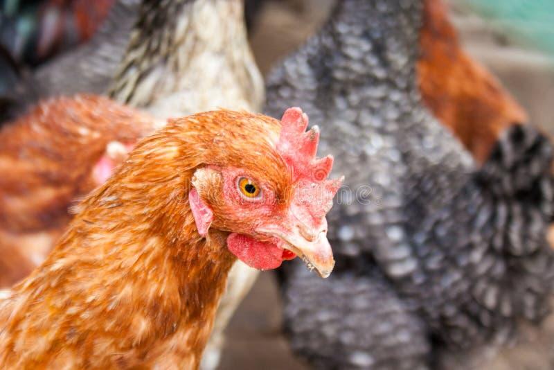 Macro head and chicken beak. Head of a hen. Macro head and chicken beak royalty free stock images