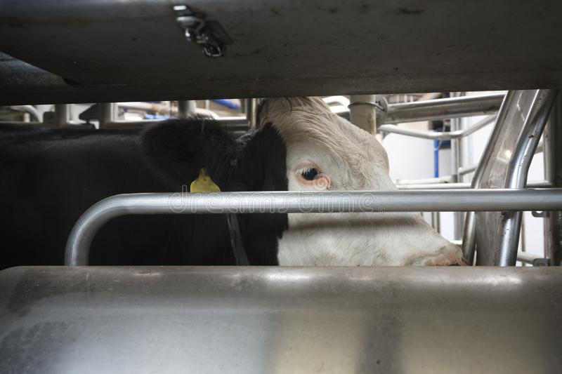 Head of holstein cow inside milking robot royalty free stock images