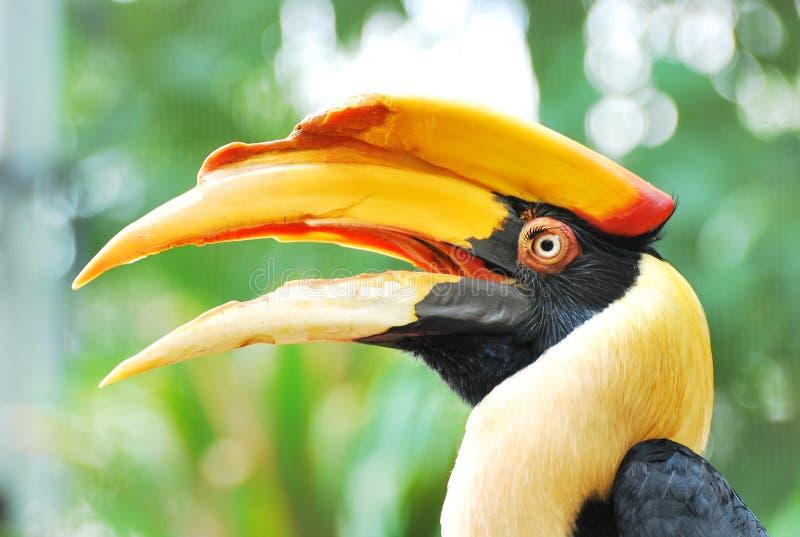Head of a hornbill stock photography