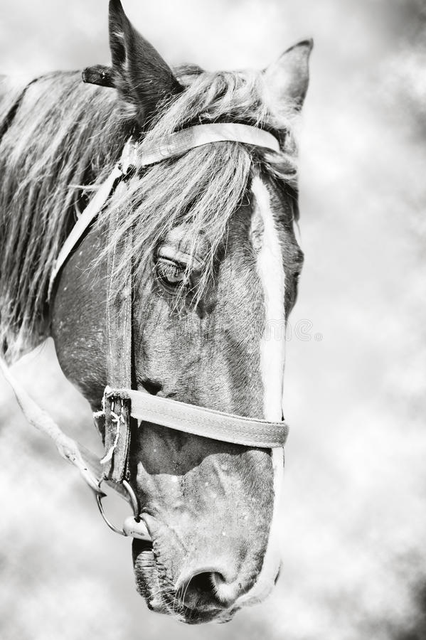 Download Head of  horse stock image. Image of mare, equine, horseback - 26112823