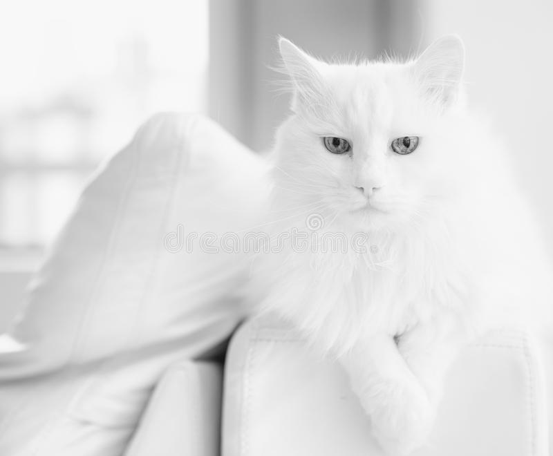 The best of breed cat royalty free stock photography