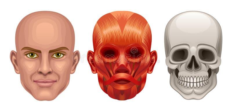 head human för anatomi vektor illustrationer