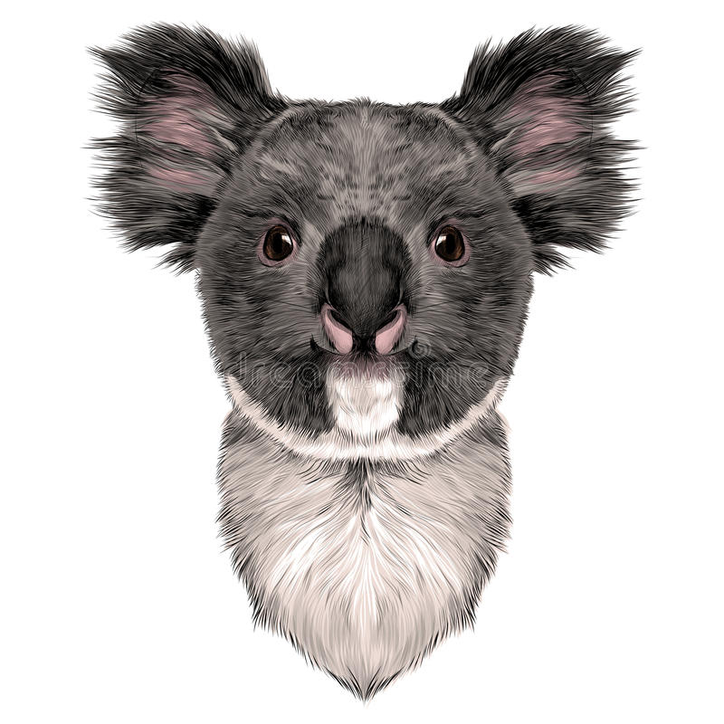 Head Koala. The head is symmetrical Koala looking right, sketch vector graphics color picture royalty free illustration