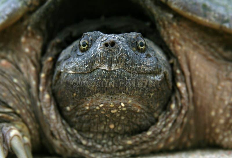 head låsande fast sköldpadda royaltyfri fotografi