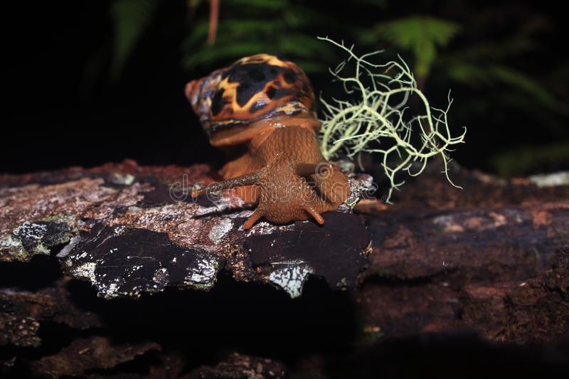 The head of a land snail, lissachatina fulica, with antennea on a tree trunk with a bit of moss stock photo