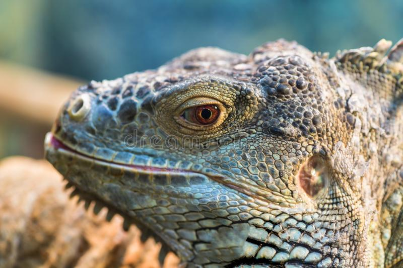 The head of a large green ordinary iguana, the eye looks royalty free stock photos
