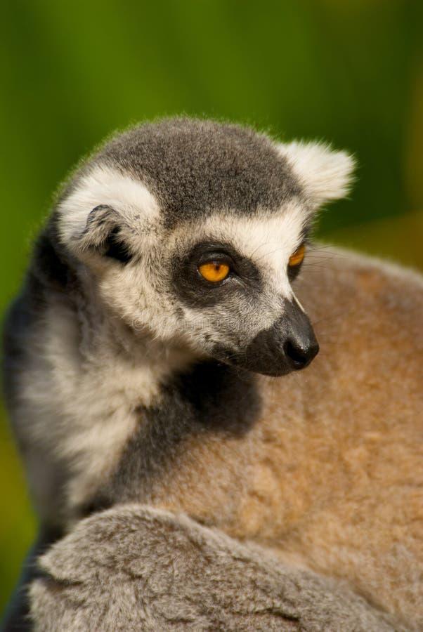 head lemur royaltyfria foton
