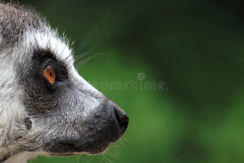 Head of lemur monkey stock photo