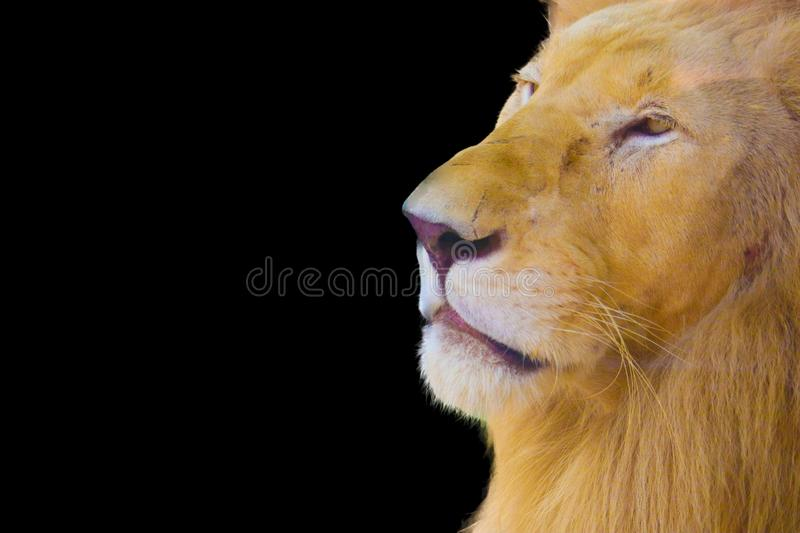 Lion isolated on black background stock photography