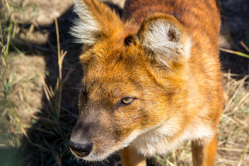 Head of the little red fox. In the grass royalty free stock images