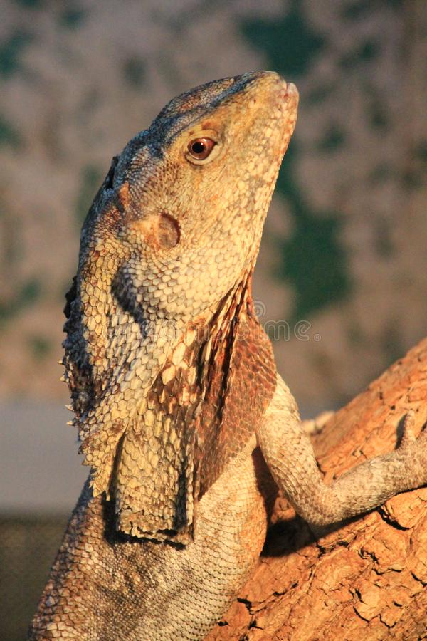 The head of a lizard with a neck Chlamydosaurus royal, photographed in a zoo. royalty free stock photos