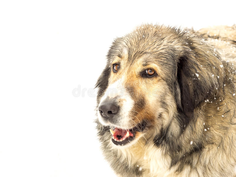 Head of a long haired dog in snow. Head of a happy long haired Romanian sheepdog, enjoying itself outdoors in falling winter snow, close up side view with copy stock image