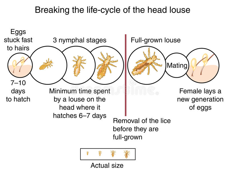 Head louse life cycle. Breaking the life cycle of the head louse by wet combing before the lice are full grown. Created in Adobe Illustrator. Contains gradient royalty free illustration
