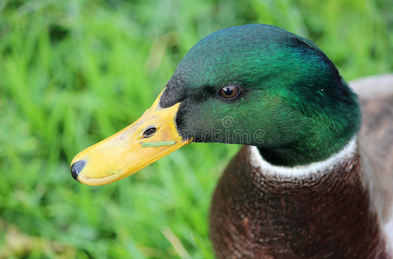 Head of male mallard duck anas platyrhynchos. Close up of the head of a male mallard duck ( anas platyrhynchos ) showing off its plumage with a small blade of royalty free stock images