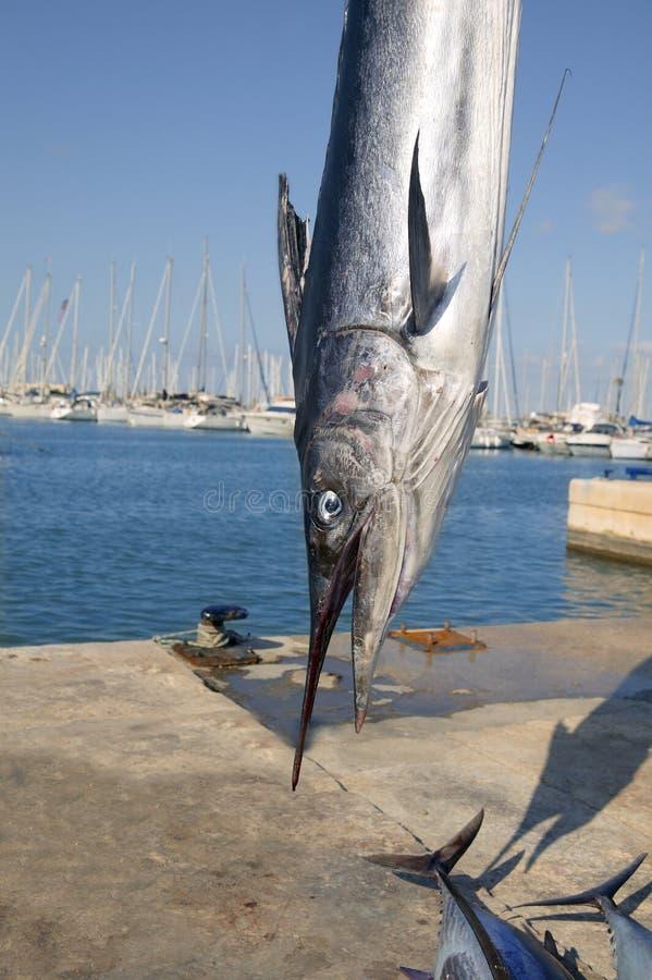 head medelhavs- spearfish för billfish arkivbild