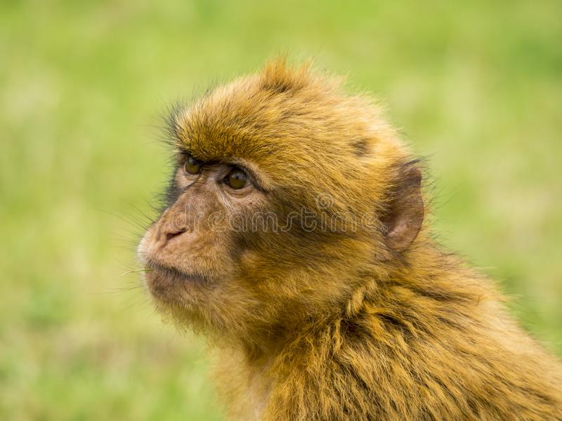Head of a monkey. Close up with an unfocused green background royalty free stock photo