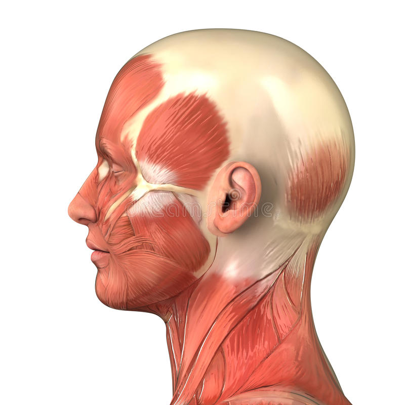 Free Head Muscular System Anatomy Right Lateral View Stock Photos - 20173663