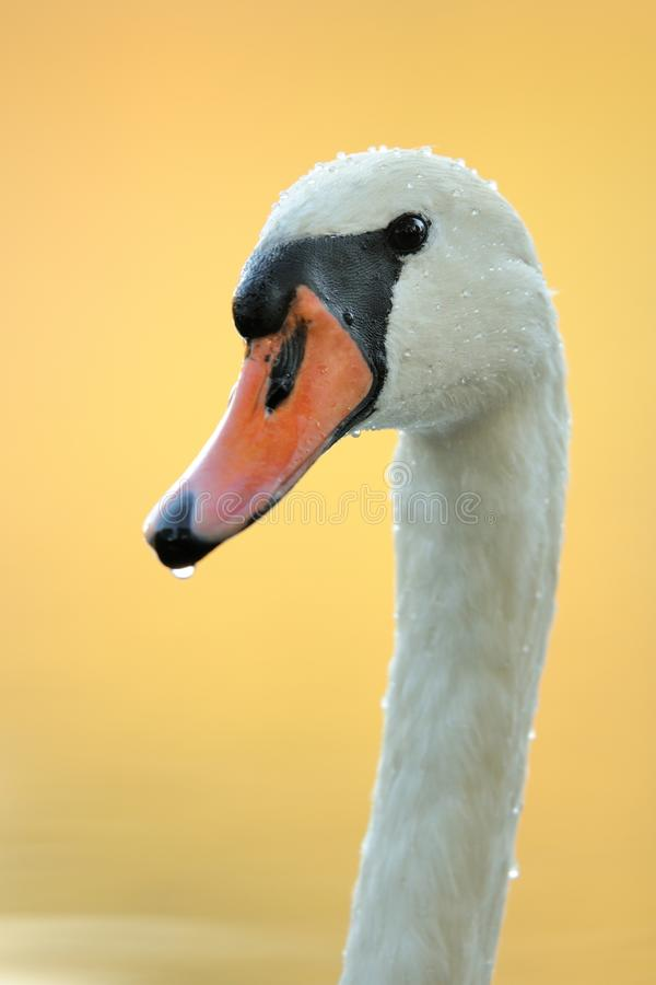 Head of a Mute Swan. Portrait of a swan with water drops in the plumage royalty free stock photo