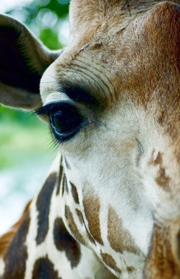 Head närbild för giraff fotografering för bildbyråer