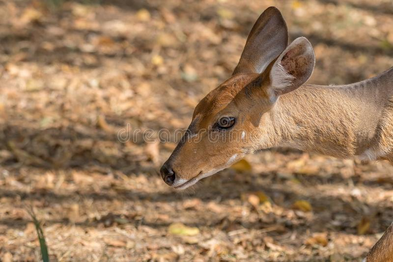Head and neck of a bushbuck ewe. Tragelaphus scriptus stock photo