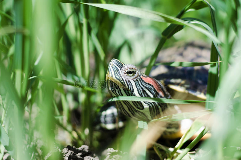 Head and neck of a Pond slider turtle located in the green grass royalty free stock photography